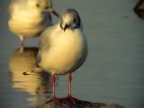 Skrattmås Black-headed Gull Chroicocephalus ridibundus