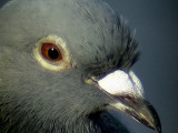Tamduva  Feral Pigeon Columba livia (domest.)
