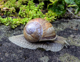 Vinbergssnäcka  Burgundy Snail   Helix pomatia