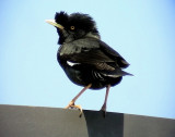 Större tofsmajna Crested Myna Acridotheres cristatellus
