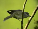 Höksångare Barred Warbler Sylvia nisora