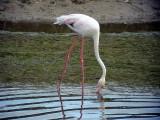 Större flamingoGreater FlamingoPhoenicopterus roseus