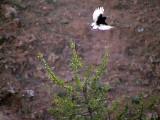Svart stenskvätta Black Wheatear Oenanthe leucura syenitica