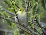 Grönsångare Wood Warbler