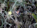 Störrer dagsvärmare Macroglossum stellatarum