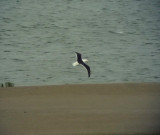 ? Kelptrut Kelp Gull Larus dominicanus?