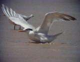 Kungstärna Royal Tern Thalasseus maximus