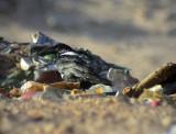 Svartvit kråka Pied Crow Corvus albus