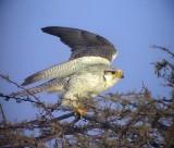 Slagfalk Lanner Falcon Falco biarmicus erlangeri