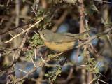 Rostsångare  Western Subalpine Warbler  Sylvia inornata