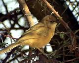 Saharaskriktrast Fulvous Babbler Turdoides fulvus