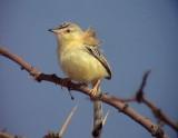 Sahelsångare Cricket Warbler Spiloptila clamans