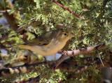 Bergångare Western Bonelli's Warbler Phylloscopus bonelli