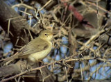 Eksångare Saharan Olivaceous Warbler Hippolais Reiseri