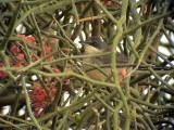 Herdesångare Western Orphean Warbler Sylvia hortensis