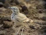 Härfågellärka  Hoopoe Lark Alaemon alaudipes alaudipes