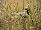 Ökensparv Desert Sparrow Passer simplex