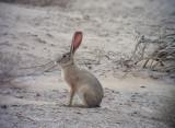 Kaphare  Cape Hare  Lepus capensis
