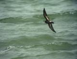 Stormsvala European Storm Petrel Hydrobates pelagicus