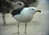 Silltrut Lesser-backed Gull Larus fuscus graellsii/intermedius