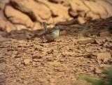 Snårsångare African Scrub Warbler Scotocerca inquieta theresae