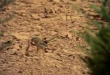 Berbersångare  African Scrub Warbler Scotocerca saharae