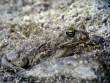 Grönfläckig padda Green Toad Bufo viridis