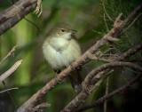 Macciasångare Western Olivaceous Warbler Hippolais opaca
