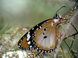 Mindre monark  African Monarch  Danaus chrysippus