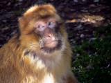 Berbermakak Barbary ape Macaca sylvana