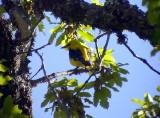 Sommargylling Golden Oriole Oriolus oriolus