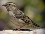 Stensparv Rock Sparrow Petronia petronia