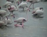 Mindre flamingo Lesser Flamingo Phoeniconaias minor