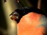 Domherre Bullfinch Pyrrhula pyrrhula