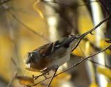 Bergfink Brambling Fringilla montifringilla