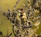 GråsiskaCarduelis flammeaCommon Redpoll