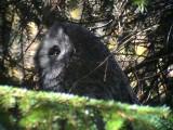 LappugglaGreat Grey Owl Strix nebulosa