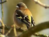 Bofink Fringilla coelebs  Common Chaffinch (Chaffinch)