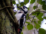 Större hackspett Dendrocopos major Great Spotted Woodpecker
