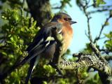 Bofink Fringilla coelebs maderenses Common Chaffinch (Chaffinch)