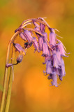 A Bluebell