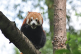 A Red Panda can see you