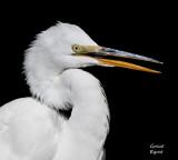 great egret portrait.jpg