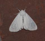 Virginian Tiger Moth (8137)