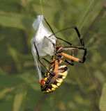 Adult wrapping prey with silk
