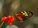 Tiger Longwing (Hecales Longwing)