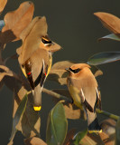 Gathering in Magnolia Tree to Roost