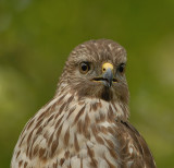 Red-shouldered Hawk (Eastern)
