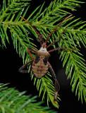 Acanthocephala femorata Nymph