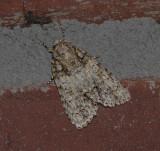 Hesitant Dagger Moth (9245)